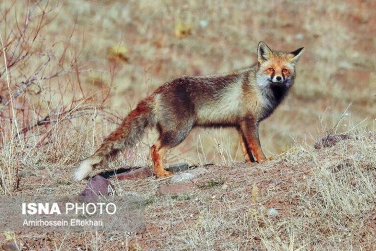 ببینید   لحظه تماشایی و جذاب رهاسازی یک قلاده روباه به دامان طبیعت